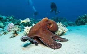 Обои reef, ocean, океан, tropical, подводный мир, fishes, red octopus
