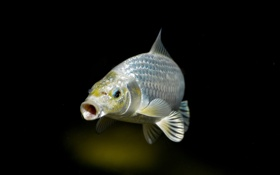 Картинка чешуя, серебристая, рыба, темный фон, плавники