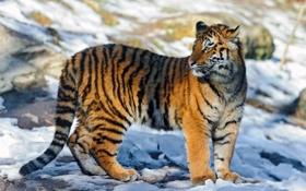 Обои молодой, смотрит, блики, тень, свет, стоит, тигр