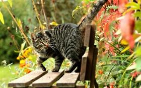 Обои кот, лавочка, листья, полосатая, скамья, скамейка, природа