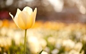 Картинка поле, цветок, макро, цветы, желтый, природа, тюльпан