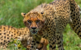 Обои морда, злость, гепард, клыки, дикая кошка, угроза