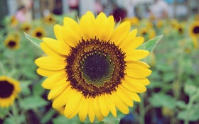 Картинка желтые, цветок, лепестки, подсолнух