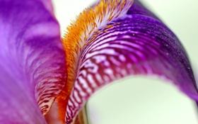 Обои цветок, макро, сиреневый, ирис