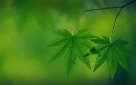 Обои зелень, листья, капли, ветки, природа, дерево, листок