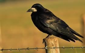 Обои птица, черный, ворон, колючая, проволка