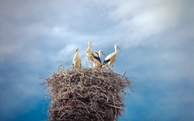 Картинка аисты, лето, природа, гнездо, небо, птицы, красота