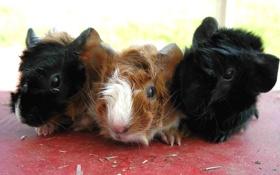 Обои черная, семечки, коричневая, морские свинки