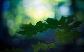 Картинка листья, блики, ветка, зеленые, кленовые