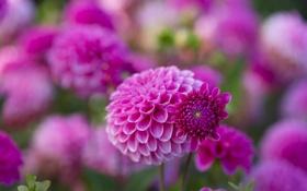 Обои макро, цветы, природа, розовые