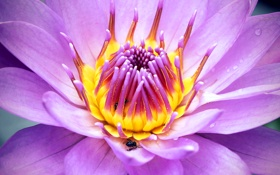 Обои цветок, природа, пчела, лепестки, насекомое