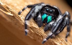 Обои глаза, макро, паук, лапы, насекомое
