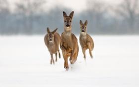 Обои снег, бег, олени, косуля