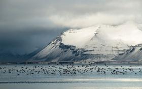 Обои зима, птицы, Исландия, в полете