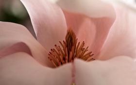 Обои цветок, лепестки, магнолия