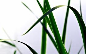Обои растение, зелень, лист