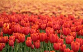 Обои красный, тюльпан, Цветы