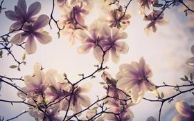 Картинка цветы, ветки, дерево, весна, магнолия
