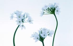 Обои цветы, нежность, голубые