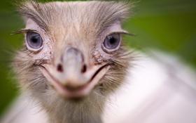 Картинка глаза, взгляд, фон, страус