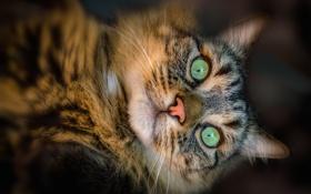 Картинка кот, питомец, взгляд