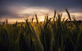 Обои пшеница, поле, закат, стебли, поле пшеницы, серые облака, початок кукурузы