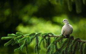 Обои ветки, голубь, елка, tree, dove, branches