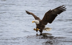 Обои полет, птица, атака, рыбалка, крылья, хищник, белоголовый орлан