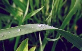 Обои зелень, макро, роса, Трава