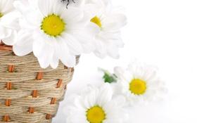 Картинка цветы, ромашки, весна, лепестки, белые