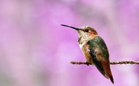 Обои птица, фон, прутик, ветка, колибри