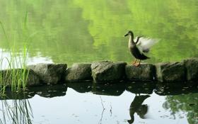 Картинка природа, пруд, птица, утка