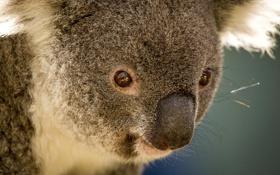 Картинка австралия, коала, травоядное, сумчатое