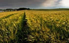 Обои колоски, поле, колсья, горизонт