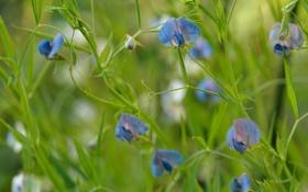Обои цветы, синий, горошек, душистый