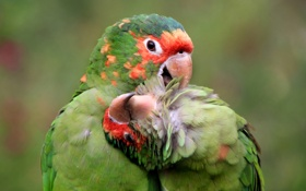 Картинка краски, перья, попугай, пара, забота