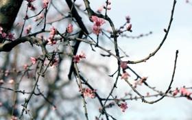 Картинка ветки, природа, весна, сад