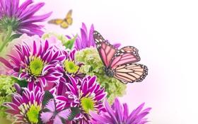 Обои бабочки, цветы, хризантемы, листики