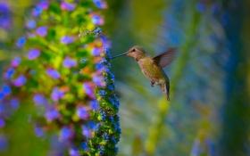 Обои природа, птица, Hummingbird, Garden