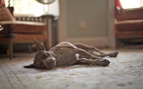 Обои комната, собака, пес, спит