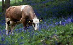 Обои цветы, природа, корова