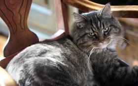 Обои глаза, кот, серый, зеленые, лежит