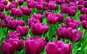 Обои цветок, цветы, природа, весна, лепестки, тюльпаны, бутоны