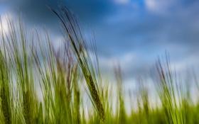 Обои пшеница, зелень, колос, колосья