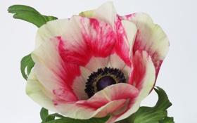 Обои цветок, фото, анемоны