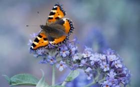 Обои бабочка, незабудки, цветы