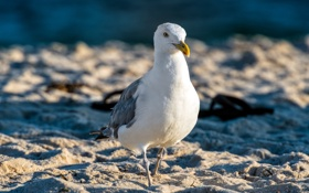 Картинка Birds, Beach, Seagull