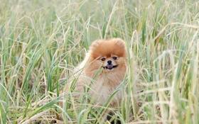 Картинка трава, собака, пёс, шпиц