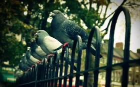 Обои город, забор, голуби