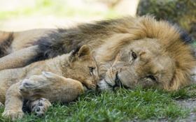Картинка кошка, трава, отдых, лев, детёныш, котёнок, львёнок